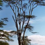 1-of-143-species-of-acacia-tree