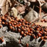 Ladybug Love Fest