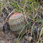 Sonoran rainbow cactus