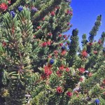 Unlocking the Mystery of the Ancient Bristlecone Pines