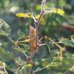 Juvenile male Greater Meadow Katydid
