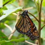 Monarchs of Mexico Slide